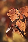 Vine leaves with autumn tints