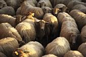 Basque sheep