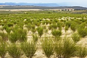 Rooibos plantation (South Africa)