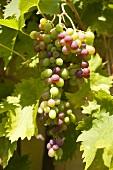 Noch unreife Weintrauben an der Rebe