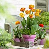 Tulpen 'Sun Lover'