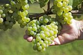 Hand hält Traube, Sorte weisser Burgunder (Pinot blanc) an der Rebe