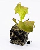 Young Lollo Rosso plant (Lactuca sativa Lollo Rossa)