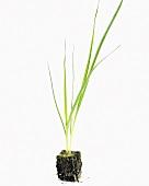 Junge Lauchpflanze (Allium porrum)