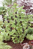 Blackcurrants (Ribes nigrum) on the bush in a garden