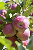 Apples, variety 'Beauty of Bath', on the tree