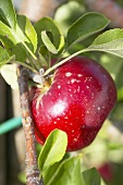 Red apple, variety 'Akane', on the branch