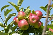 Apples, variety 'Discovery', on the tree