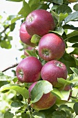 Red apples, variety 'Kardinal Bea', on the tree