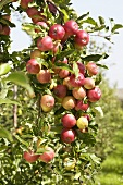 Red apples, variety 'Mitchgla', on the tree