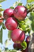 Red apples, variety 'Rode Jonathan', on the tree