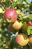 Apples, variety 'Sweet Caroline', on the tree