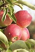 Apples, variety 'Trajan', on the tree
