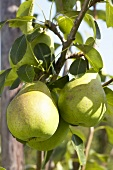 Pears, variety 'Beurre Alexandre Lucas', on the tree