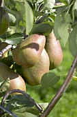 Pears, variety 'Beurre Clargeau', on the tree