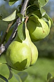 Pears, variety 'Lectier', on the branch