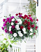 Cascading pinks ('Dianthus fontaine') in hanging basket at front of house