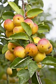 Crab apples, variety 'Butterball', on the tree
