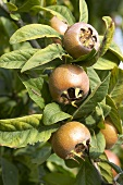 Medlars on the tree (Mespilus germanica)