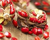 Magnolia seeds