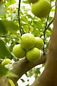 Pomelos (Citrus maxima) on the tree