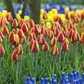 Tulpen, Sorte: Bright Flair, im Garten