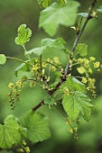 Currant bush, flowering