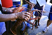 Person holding live lobster