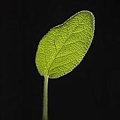 A sage leaf on black background