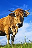 Aubrac Rind auf der Weide