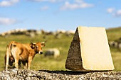 Laguiole cheese on stone wall, herd of cattle in background