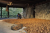 Freshly harvested walnuts drying in a storeroom (France)
