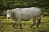 Blonde d' Aquitaine cow