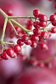 Viburnum twig with berries