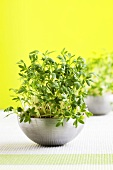Cress in stainless steel dish (table decoration)