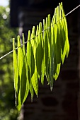 Ribwort plantain leaves drying on a line