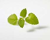 Lemon balm (Melissa officinalis)