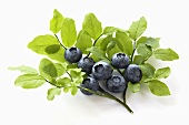 Blueberries with Branch and Leaves