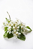 Pear blossom and leaves on branch