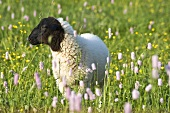 Rhön sheep (a German breed) in a flowery pasture