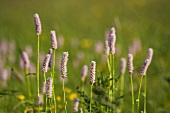 Flowering sorrel in grass