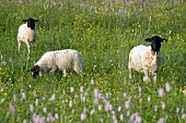 Three Rhön sheep (a German breed) in a flowery pasture