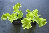 Two young lettuce plants