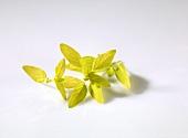 Golden oregano (Origanum vulgare 'Aureum')