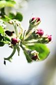 Apple blossom, variety 'Jonathan'