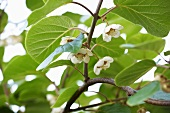 Kiwi fruit blossom