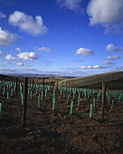 Young vines on Capaia Estate, S. Africa