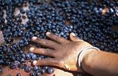 Sorting grapes, Vriesenhof, Stellenbosch