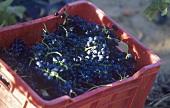 A crate of Shiraz grapes
