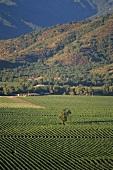 Vineyards near Casablanca, Chile